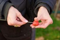 Jahody lúpať nemusíme a tak ich umyté napichujeme na špajle.