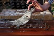 Rybu pripravenú podľa predchádzajúcich krokov vložíme do držiaka na rybu Weber a zaistíme uzáverom. Celý držiak vkladáme do rozpáleného grilu.